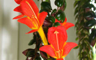 Колумнея (columnea): уход за цветком в домашних условиях