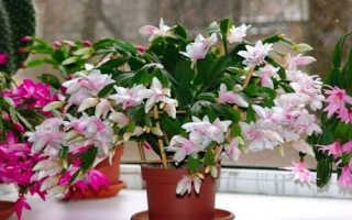 Цветок декабрист: правила ухода в домашних условиях