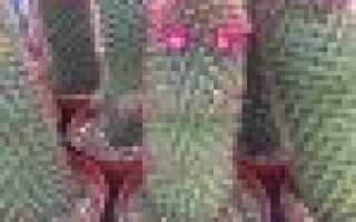 Кактусы маммиллярии — виды, уход в домашних условиях