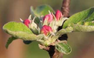 Как пошагово привить яблоню весной: способы прививки