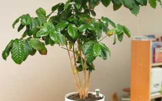 Выращивание и правила ухода за комнатным растением кофе арабика