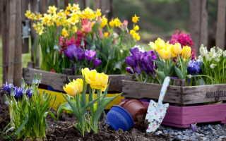 Цветок крокус: описание, как выглядит, уход и выращивание
