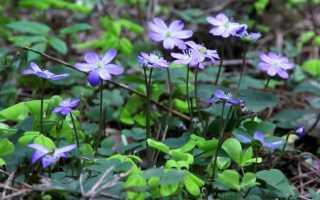 Выращивание цветка печеночница: посадка и уход за растением