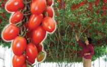 Томатное дерево: выращивание в открытом грунте и в теплицах