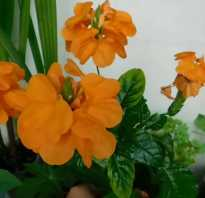 Уход за растением кроссандра в домашних условиях