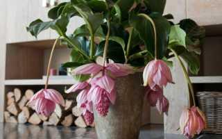 Комнатный цветок мединилла: размножение и уход