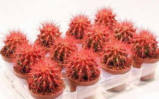 Условия ухода за домашним цветком эхинокактус грузони