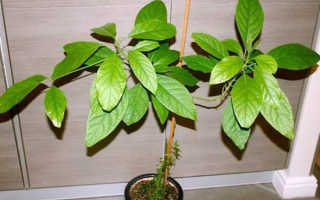 Как можно правильно посадить и вырастить авокадо в домашних условиях