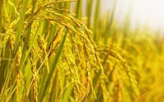 Выращивание риса – условия, посадка и уход