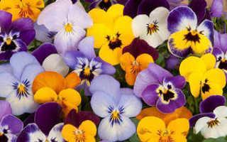 Цветы анютины глазки: сорта, особенности выращивания и ухода