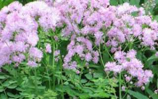 Василистник: посадка и уход за растением