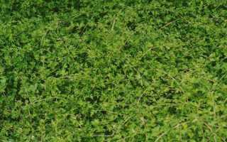Стефанандра надрезаннолистная: посадка и уход за кустарником