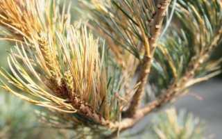 Основные болезни декоративных хвойных растений