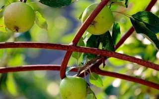 Как вырастить саженец яблони из семечки в домашних условиях