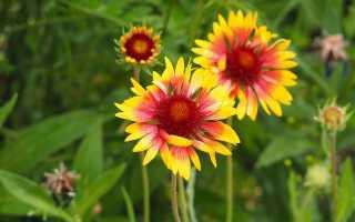 Гайлардия — огненный цветок. Посадка, уход в открытом грунте