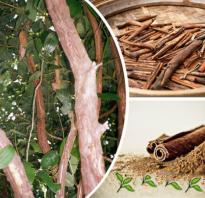 Применение корицы в кулинарии и медицине, как растет дерево в природе