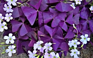 Цветок бабочка — Оксалис, или Кислица