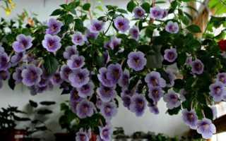 Выращивание ахименесов: уход и посадка в домашних условиях