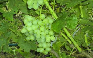 Описание и выращивание сорта винограда Восторг