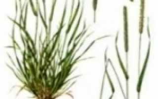 Луговая тимофеевка: описание растения и применение этой травы