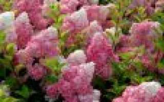 Описание и выращивание гортензии метельчатой Ванилла фрейз