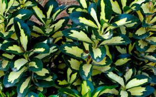 Японский бересклет: уход за садовым и комнатным кустарником