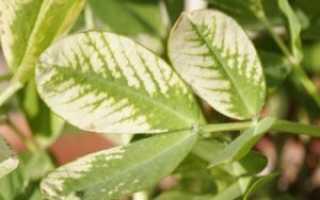 Как лечить хлороз листьев у комнатных растений