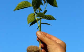 Как правильно посадить грецкий орех из плода или саженца