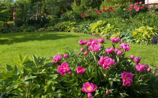 Когда лучше пересаживать пионы: осенью или весной