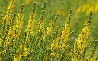 Дрок (drok): описание и виды растения, выращивание цветка