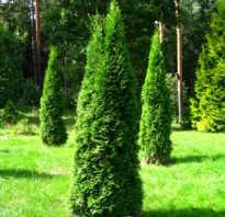 Высота взрослого растения туя Смарагд