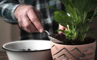 Цветок спатифиллум: пересадка и уход в домашних условиях