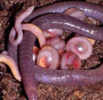 Земляные черви: внешний вид и описание