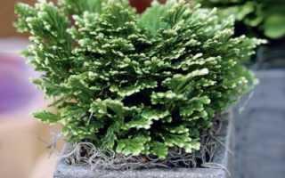 Растение селагинелла — описание и уход в домашних условиях