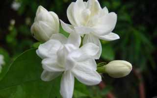 Жасмин самбак (sambac): описание, виды, выращивание и уход