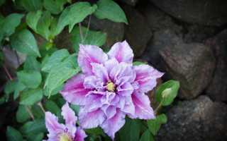 Клематис: описание растения, посадка и уход за цветком