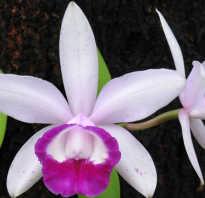 Уход в домашних условиях за орхидеей каттлея