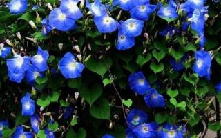 В помощь начинающим садоводам. Вьющиеся растения