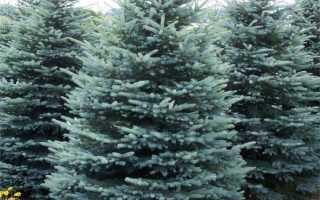 Голубая ель: описание, посадка и уход за растущим деревом