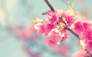 Дерево сакура в японской культуре