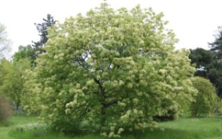 Ясень: внешний вид дерева, особенности посадки и ухода