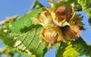 Лесной орех — лещина и фундук: полезные свойства и отличия
