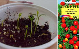 Комнатный паслен: выращивание и уход в домашних условиях