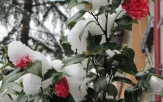 Уход за розами осенью и подготовка их к зиме