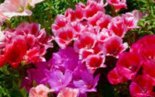 Как сажать годецию: методы выращивания из семян