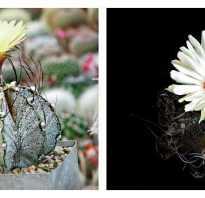 Звёздчатый кактус