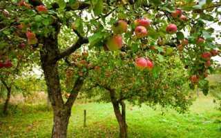 Посадка яблони осенью, правильный выбор саженцев