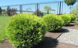Хвойное дерево туя: описание и виды растения