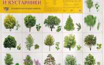 Виды деревьев в средней полосе России
