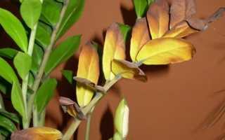 Что делать, если у замиокулькаса желтеют, сохнут и опадают листья